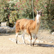 Lama standing on the ground — Stok fotoğraf