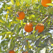 Branch of orange tree with fruits and green leaves — Foto Stock