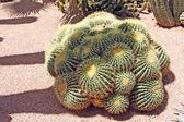 Primer plano de un espinoso cactus, plantas exóticas — Foto de Stock