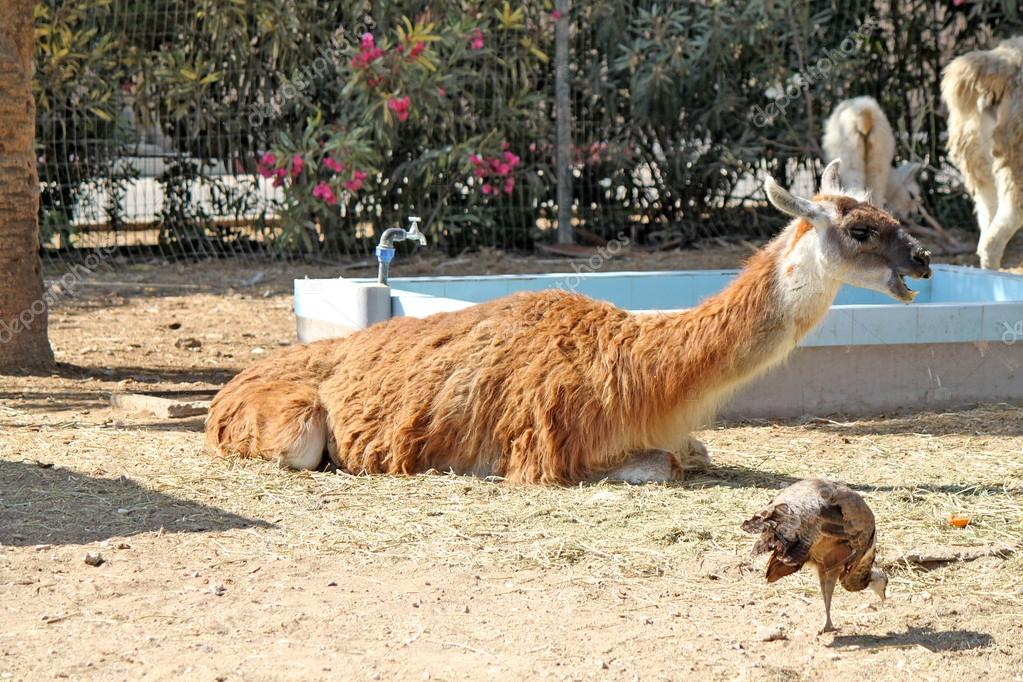 Lama resting on the straw and birds around — Stock Photo #12213158