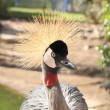African bird: Grey crowned crane (Balearica regulorum) — Stock Photo