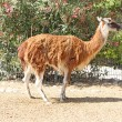 Lama standing on the ground — Stockfoto