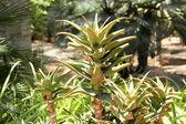 Aloe vera plant used in Health-Care and Medicine — Stock Photo