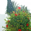 Stock Photo: Hibiscus flowers and tree with sky background