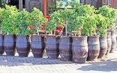 Seedlings of trees in pots — Stock Photo