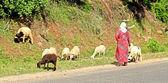 Woman shepherd herding sheeps — Stock Photo