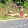 Woman shepherd herding sheeps - Stock Photo
