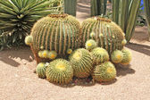 Close-up of a prickly cactus, exotic plants — Stock Photo
