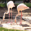 Pink flamingos are standing in the water — Stock Photo