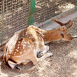 Stock Photo: Sikdeer lays on ground ad sleeps