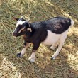 Young black white goatling standing on the ground — Stok fotoğraf