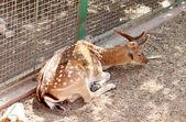 Sika deer lays on the ground ad sleeps — Stock Photo