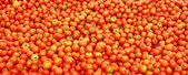 Many fresh red tomatoes — Stock Photo