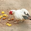 Stock Photo: Feeding muscovy duck with white feathers and red wattle
