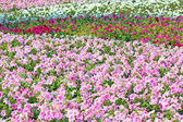 Beautiful colorful petunias on the flower field, selective focus — Stock Photo