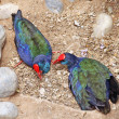 Two rare birds - takahe — Stock Photo #18459543