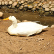 A white duck laying on the ground — Stok fotoğraf