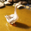 The gray goose standing in the water — Foto Stock