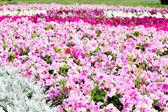美丽多彩牵牛花花场,选择性焦点 — 图库照片