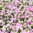 Beautiful colorful petunias on the flower field, selective focus - Stock Photo