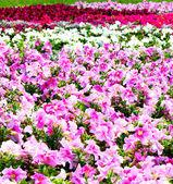 セレクティブ フォーカス花畑の美しいカラフルなペチュニア — ストック写真