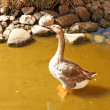 The gray goose standing in the water — Stok fotoğraf