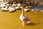 The gray goose standing in the water — Stock Photo
