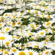 Beautiful camomile flowers under sunlight — Foto Stock
