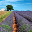 Stock Photo: Lavender fields