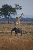Elephant and giraffe — Stock Photo