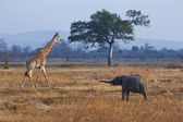 Elephant and giraffe — Stock Photo