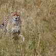 Cheetah — Stock Photo #15926397