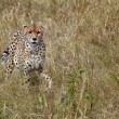 Stock Photo: cheetah