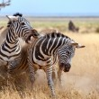 Zebras - Stock Photo