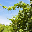 Stock Photo: Vineyard of Merlot grape
