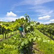 Vineyard of Pinot Blanc grape — Stock Photo