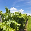 Vineyard of Pinot Blanc grape — Stock Photo #13338859