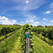 Vineyard of Riesling grape — Stock Photo #13338864