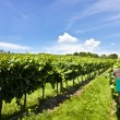 Photo: Vineyard