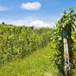 Vineyard of cabernet sauvignon grape — Stock Photo