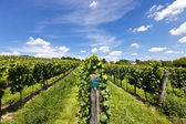 Vineyard of Riesling grape — Stock Photo