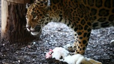 Jaguar eating a rabbit — Stockvideo