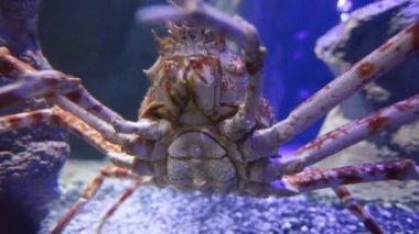 Olbrzym japoński krab pacyficzny — Wideo stockowe