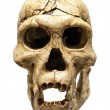 Skull of Homo Erectus — Stock Photo