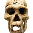Stock Photo: Skull of Homo Erectus