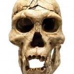 Skull of Homo Erectus — Stock Photo #26236385
