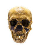Skull of Homo Neanderthalensis — Stock Photo