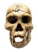 Skalle av homo erectus — Stockfoto