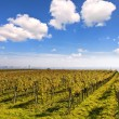 Vineyard landscape with the skyline of Vienna in the background — Stock Photo