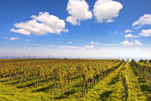 Vineyard landscape with the skyline of Vienna in the background — 图库照片